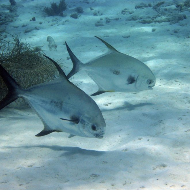 Two silver and black fish swimming near the bottom of the ocean